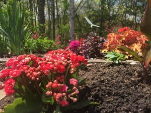 Begonias in a garden.