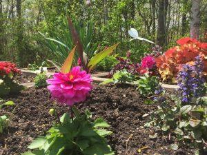 Dahlias in a garden.
