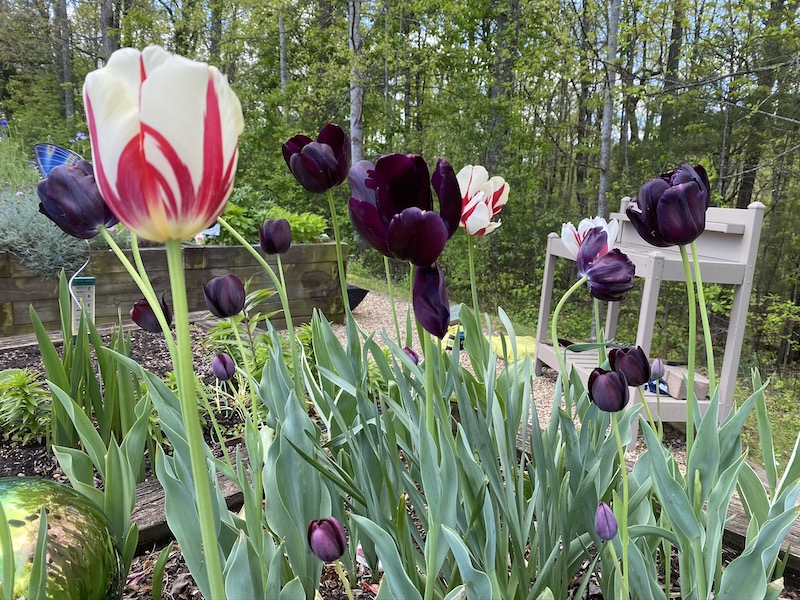 Tulips planted by the Ardenwoods residents.
