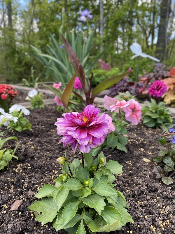 a close-up photo of flowers planted by Ardenwood residents.